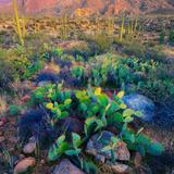 Prickly Pear and Saguaro Cacti  Santa Catalina Mountains  Oro Valley  Arizona  USA