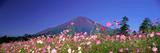 Cosmea Mount Fuji Oshino Yamanashi Japan