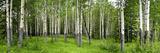 Aspen Trees in a Forest  Banff  Banff National Park  Alberta  Canada
