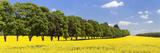 Row of Trees in a Rape Field  Baden-Wurttemberg  Germany