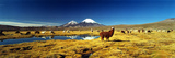 Alpaca (Lama Pacos) and Llama (Lama Glama) Grazing in the Field  Lauca National Park