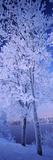 Snow Covered Trees at Frozen Riverside  Vuoksi River  Imatra  Finland