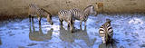 Burchell's Zebras and a Nyala at a Waterhole  Mkuze Game Reserve  Kwazulu-Natal  South Africa
