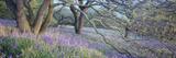 Bluebells N Yorkshire England