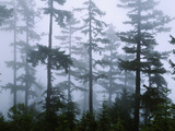 Silhouette of Trees with Fog in the Forest  Douglas Fir  Hemlock Tree  Olympic Mountains
