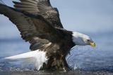 American Bald Eagle Fishing