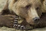 Resting Brown Bear, Katmai National Park, Alaska Papier Photo