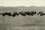 Herd of Buffalo Grazing