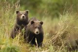 Brown Bear Cubs  Katmai National Park  Alaska