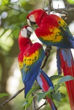 Scarlet Macaws, Costa Rica Papier Photo