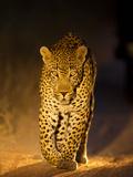 Leopard at Night, Sabi Sabi Reserve, South Africa Papier Photo