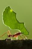 Leafcutter Ant  Costa Rica