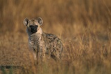 Spotted Hyena Pup