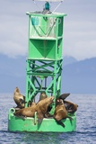 Steller Sea Lions on Buoy in Alaska Papier Photo