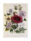 Hibiscus Africanus Botanical Illustration