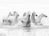 White Horses of Camargue Running Through the Water  Camargue  France