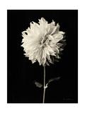Botanical Elegance Dahlia