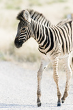 Zebra Colt I