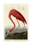 Flamant américain Giclée par John James Audubon