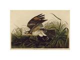 Winter Hawk Giclée par John James Audubon