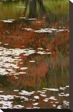 Lily Pads and Red Maple