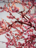 Cherry Blossoms II