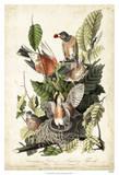 Audubon's American Robin