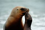South American Sea Lion (Otaria Flavescens) Female