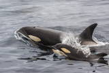 An Adult Killer Whale (Orcinus Orca) Surfaces Next to a Calf Off the Cumberland Peninsula