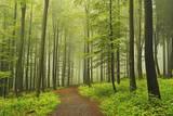 Morning Fog in Forest Near Bad Marienberg  Westerwald  Rhineland-Palatinate  Germany  Europe