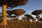 Dragon Tree (Dracaena Cinnabari)  Socotra Island  Yemen  Middle East