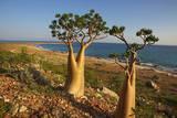 Rose of Desert (Adenium Obesum Ssp Sokotranum)  Dihamri Beach  Socotra Island  Yemen  Middle East