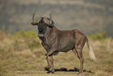 Black Wildebeest (White-Tailed Gnu) (Connochaetes Gnou)