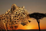 Cheetah  Masai Mara  Kenya  East Africa  Africa