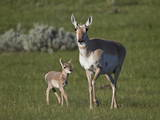 Pronghorn (Antilocapra Americana) Cow and Calf
