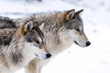 Two Sub Adult North American Timber Wolves (Canis Lupus) in Snow, Austria, Europe Papier Photo par Louise Murray