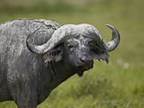 Cape Buffalo (African Buffalo) (Syncerus Caffer) Covered