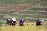 Flower Hmong Women Working in the Rice Field  Bac Ha Area  Vietnam  Indochina  Southeast Asia  Asia
