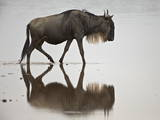Blue Wildebeest (Brindled Gnu) (Connochaetes Taurinus) in the Water
