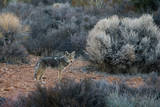 A Coyote in Joshua Tree National Park
