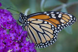 Portrait of a Female Monarch Butterfly  Danaus Plexippus  Sipping Nectar from a Flower