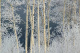 Frost Coated Branches on Aspen Trees