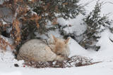 A Sleepy Coyote Curled in a Ball under a Tree  Peeks at the Camera