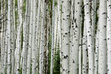 An Aspen Grove in the Colorado Mountains