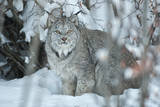 Portrait of a Canadian Lynx  Lynx Canadensis  in a Snowy Forest Setting