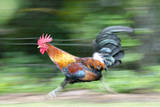 Motion Blur of a Wild Rooster at Hanalei Beach on the Na Pali Coast of Kauai  Hawaii