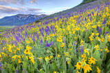 USA  Colorado  Crested Butte Landscape of wildflowers on hillside