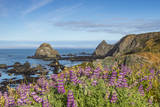 Lupine flowers cover the hills above the beach  California  USA