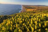 Yellow lupine above Point Reyes Beach California  USA
