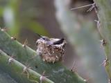 Baby Hummingbird in nest
